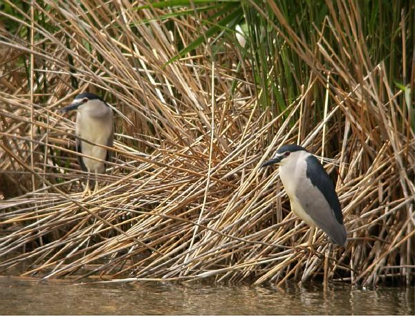 Aves en humedal
