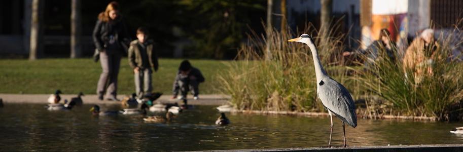 grulla en el estanque de un parque