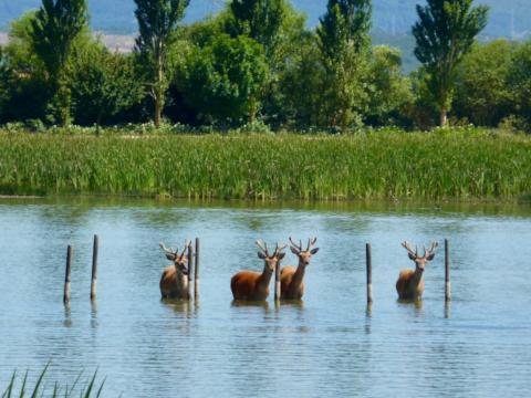Ciervos en Salburua
