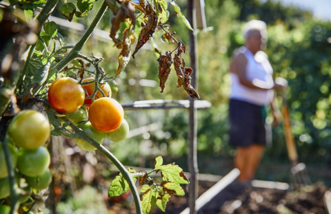Tomates en las Huertas de Urarte